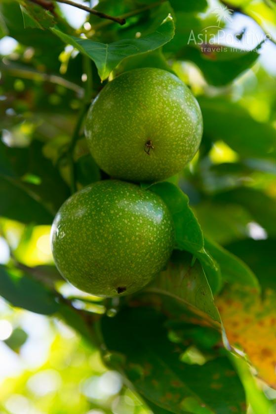 Плоды маракуйи на ветке | Путешествия AasiaPositive