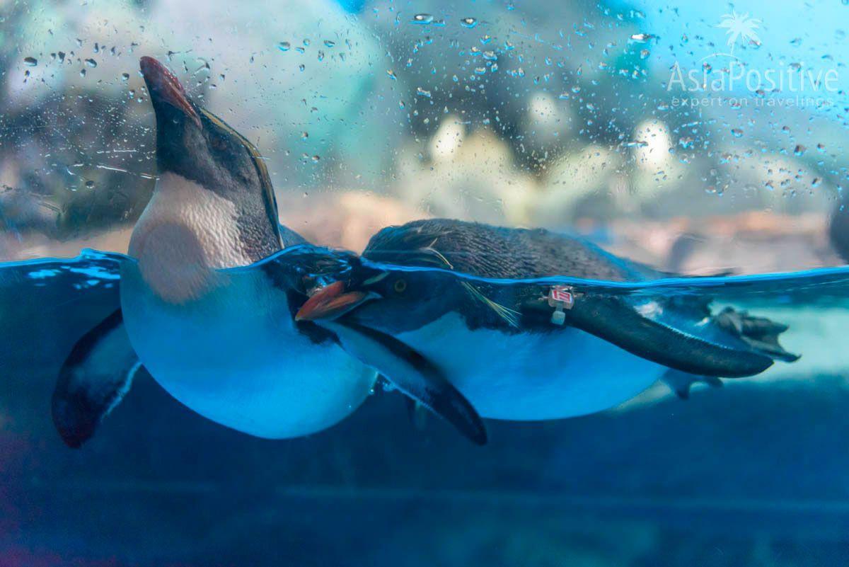 Любопытные пингвины | Океанариум Подводный мир Лангкави | Малайзия | Путешествия по Азии с AsiaPositive.com