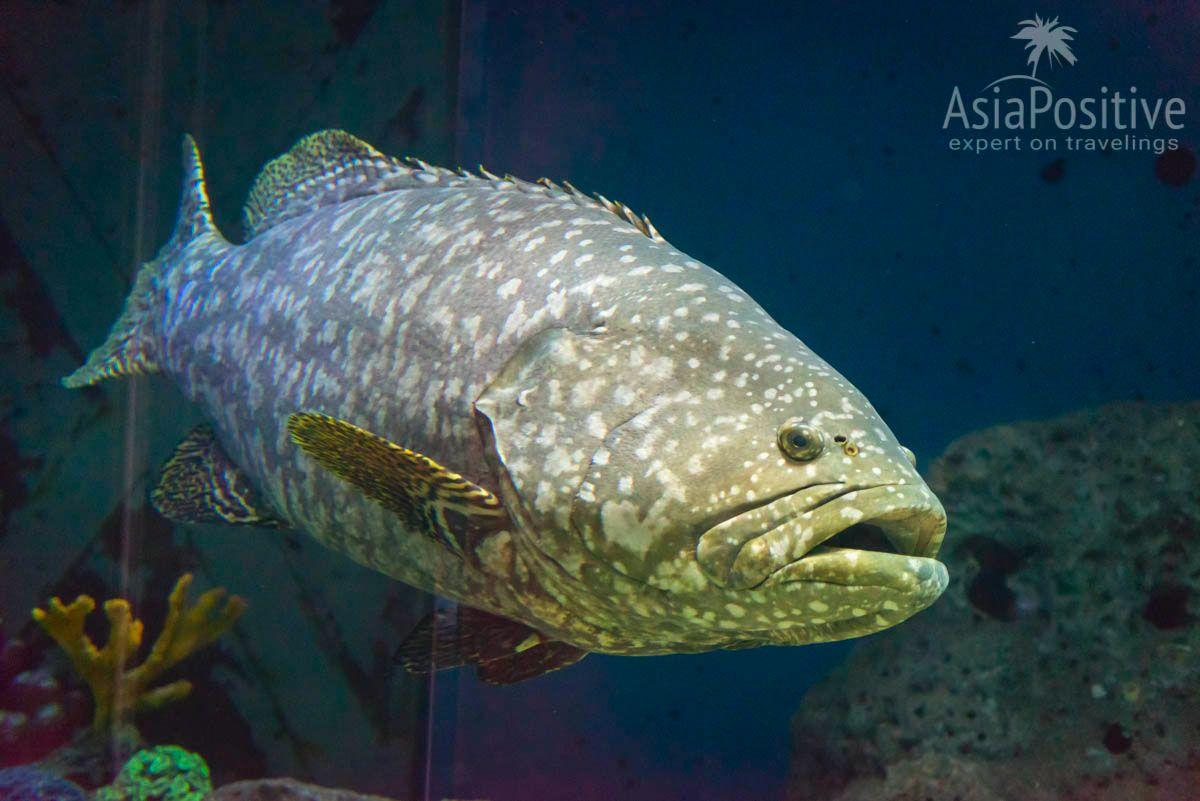 Гигантский групер | Океанариум Подводный мир Лангкави | Малайзия | Путешествия по Азии с AsiaPositive.com