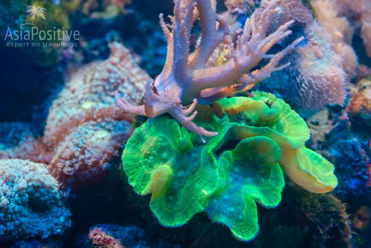Флюоресцентный коралл | Океанариум Подводный мир Лангкави | Малайзия | Путешествия с AsiaPositive.com