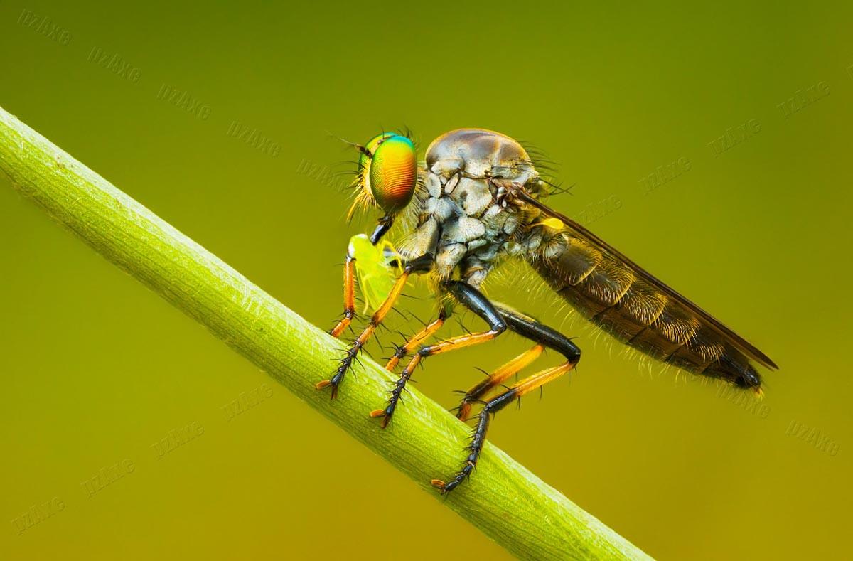 Хищная муха