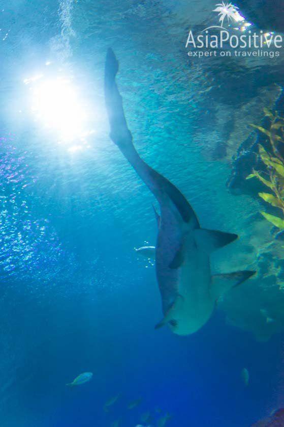 Несколько видов акул постоянно курсируют над туннелем | Океанариум Куала Лумпура (Aquaria KLCC) – как получить максимум впечатлений | Эксперт по путешествиям AsiaPositive.com