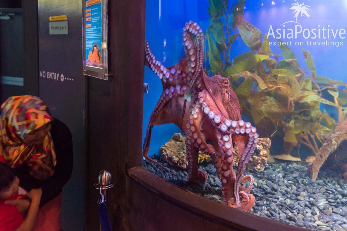 Гигантский осьминог впечатляет и детей, и взрослых | Океанариум Куала Лумпура (Aquaria KLCC) – как получить максимум впечатлений | Эксперт по путешествиям AsiaPositive.com