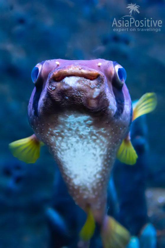 Рыба-ёж | Океанариум Подводный мир Лангкави | Малайзия | Путешествия по Азии с AsiaPositive.com