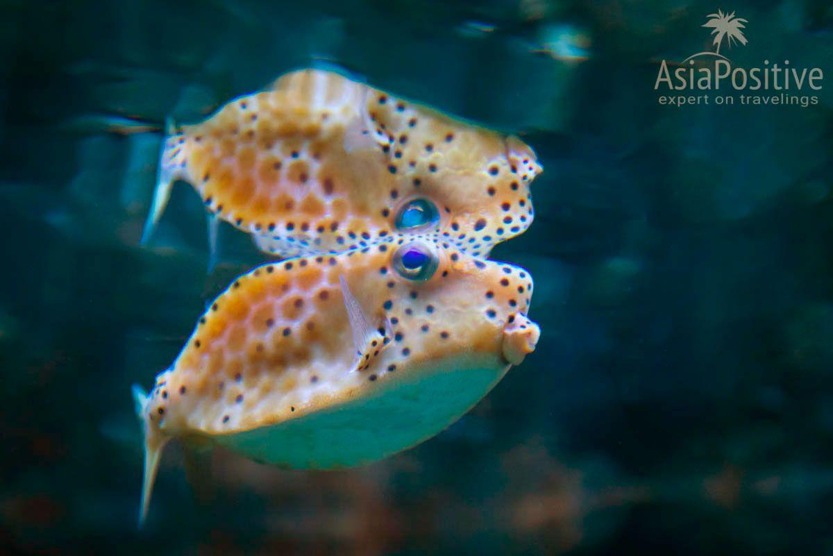 Забавная рыба - кузовок | Океанариум Подводный мир Лангкави | Малайзия | Путешествия по Азии с AsiaPositive.com