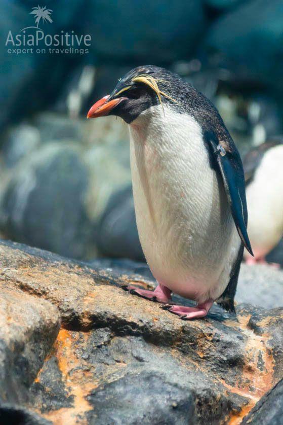Хохлатый пингвин | Океанариум Подводный мир Лангкави | Малайзия | Путешествия по Азии с AsiaPositive.com