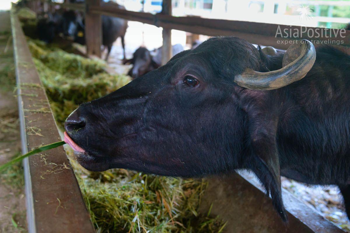 Животных на ферме всегда готовы принимать угощения с рук | Ферма буйволов на острове Лангкави (Малайзия) | Путешествия по Азии с Asiapositive.com