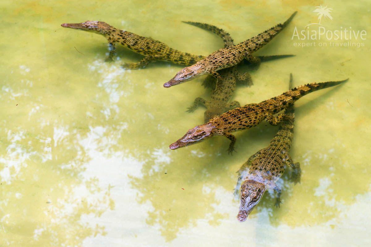 Малыши на крокодиловой ферме | Отдых на Лангкави с детьми: интересные экскурсии и достопримечательности | Путешествия по Азии с AsiaPositive.com