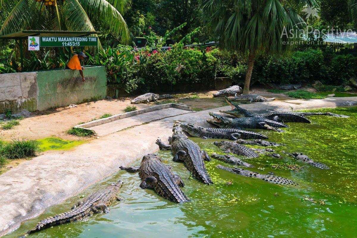 Кормление гигантов на крокодиловой ферме | Лангкави, Малайзия | AsiaPositive.com
