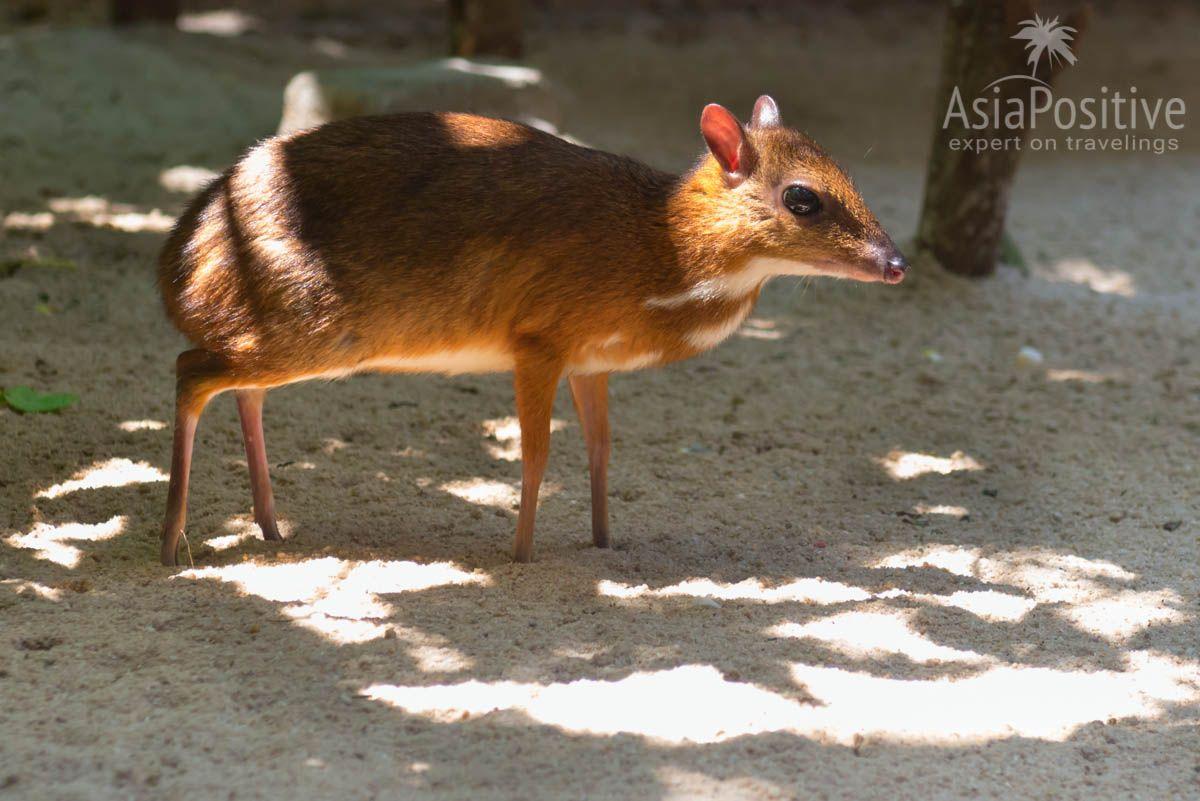 Карликовый олень в контактном зоопарке Лангкави | Малайзия с AsiaPositive.com