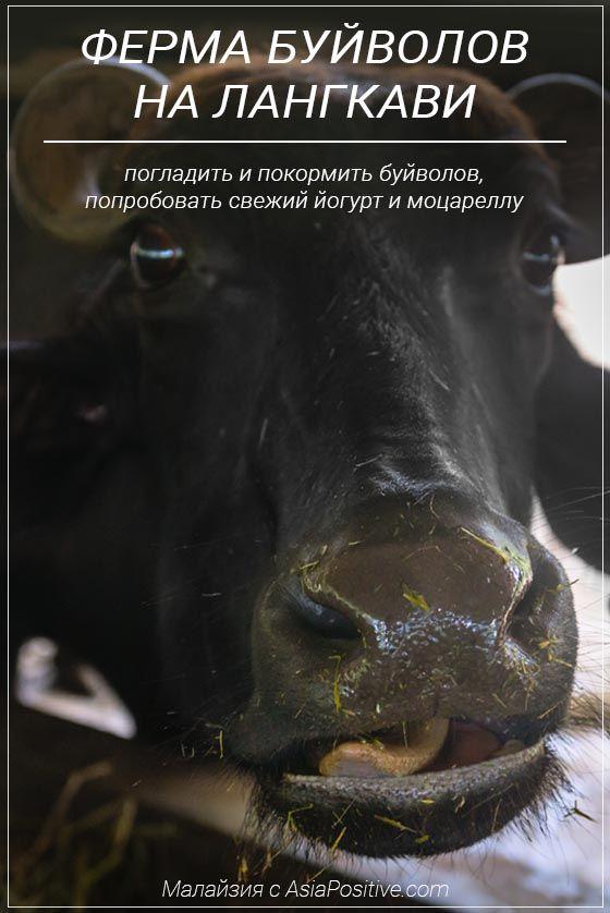 Ферма буйволов на острове Лангкави - как получить максимум впечатлений, сколько стоит и как добраться  | Малайзия с AsiaPositive.com