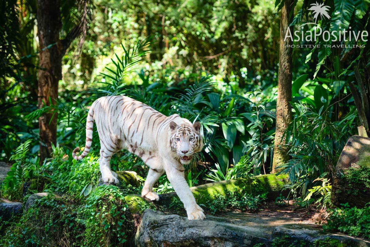 Белый тигр в зоопарке Сингапура | Когда лучше ехать, как выбирать отель в Сингапуре, на сколько дней ехать, когда и как лучше покупать тур в Сингапур, и что выгоднее и удобнее тур или самостоятельно организованная поездка. | Туры в Сингапур: детальный гид по турам | Путешествие по Азии с AsiaPositive.com