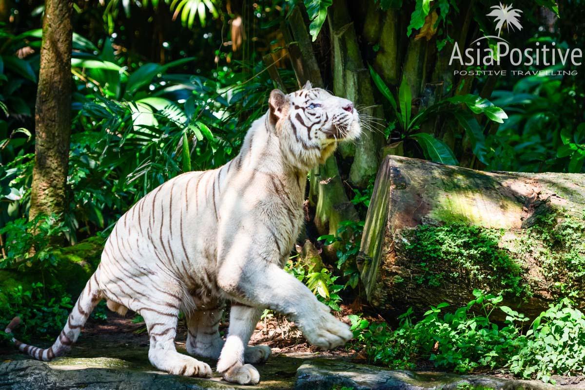 Белый тигр в зоопарке Сингапура | Детальный маршрут по Сингапуру на 2 дня - посетить самые интересные места и посмотреть самые незабываемые достопримечательности Сингапура за 48 часов. | Что посмотреть в Сингапуре за 2 дня | Путешествия по Азии с AsiaPositive.com