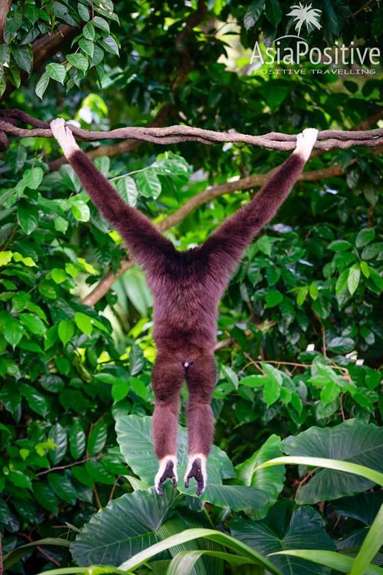 Некоторые обезьяны свободно перемещаются по зоопарку | Самая необходимая информация о Сингапурском зоопарке: как быстрее и дешевле добраться, когда лучше приезжать, где выгоднее купить билеты, что стоит с собой взять, как увидеть всё самое интересное.| Сингапурский зоопарк: о чём стоит знать каждому туристу | Позитивные путешествия по Азии от AsiaPositive.com