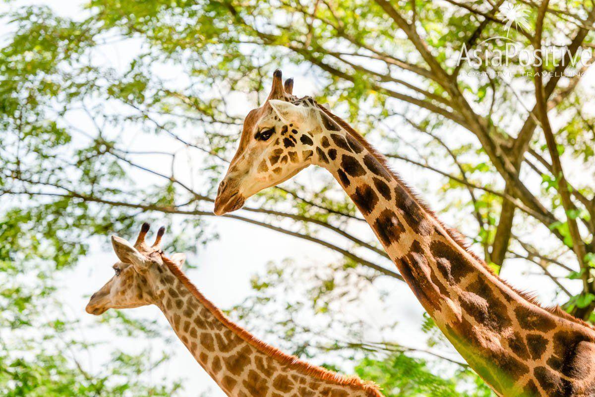 Жирафов в Сингапурском зоопарке можно кормить с рук | Самая необходимая информация о Сингапурском зоопарке: как быстрее и дешевле добраться, когда лучше приезжать, где выгоднее купить билеты, что стоит с собой взять, как увидеть всё самое интересное.| Сингапурский зоопарк: о чём стоит знать каждому туристу | Позитивные путешествия по Азии от AsiaPositive.com