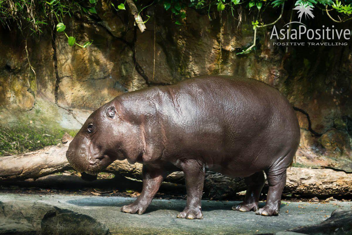Карликовый бегемот - звезда Сингапурского зоопарка | Самая необходимая информация о Сингапурском зоопарке: как быстрее и дешевле добраться, когда лучше приезжать, где выгоднее купить билеты, что стоит с собой взять, как увидеть всё самое интересное.| Сингапурский зоопарк: о чём стоит знать каждому туристу | Позитивные путешествия по Азии от AsiaPositive.com
