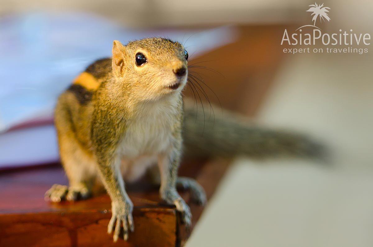 Забавная пальмовая белка ждёт угощение | Как можно гарантировано испортить свой отдых на Шри-Ланке - 7 надёжных способов и советы, как этого избежать. | 7 способов испортить свой отдых на Шри-Ланке | Эксперт по путешествиям AsiaPositive.com