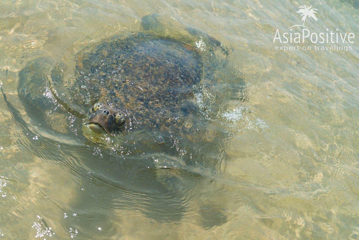 Черепаха на пляже в Хиккадуве | Как можно гарантировано испортить свой отдых на Шри-Ланке - 7 надёжных способов и советы, как этого избежать. | 7 способов испортить свой отдых на Шри-Ланке | Эксперт по путешествиям AsiaPositive.com