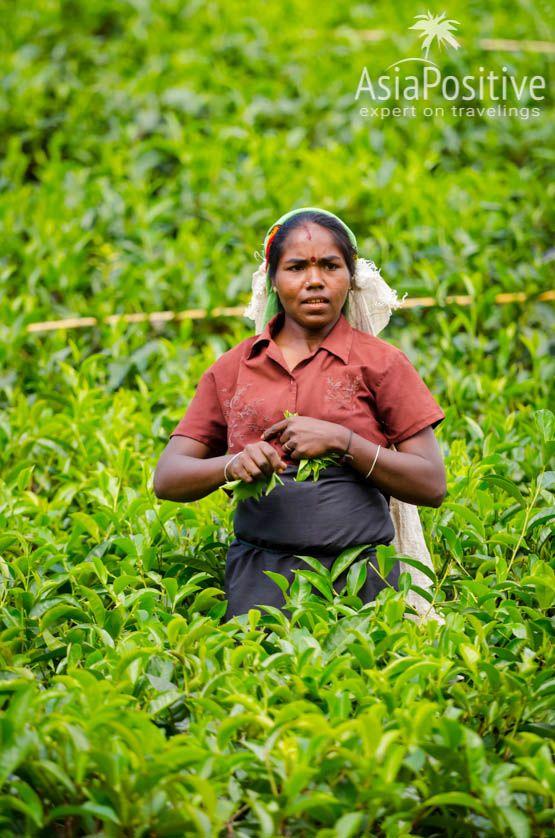 Сборщица чая (Нувара Элия, Шри-Ланка) | Путешествия AsiaPositive.com