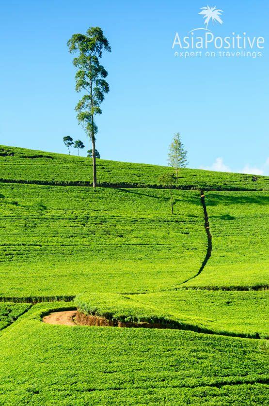 Чайные плантации по дороге в Нувара Элия | Шри-Ланка | Путешествия с AsiaPositive.com