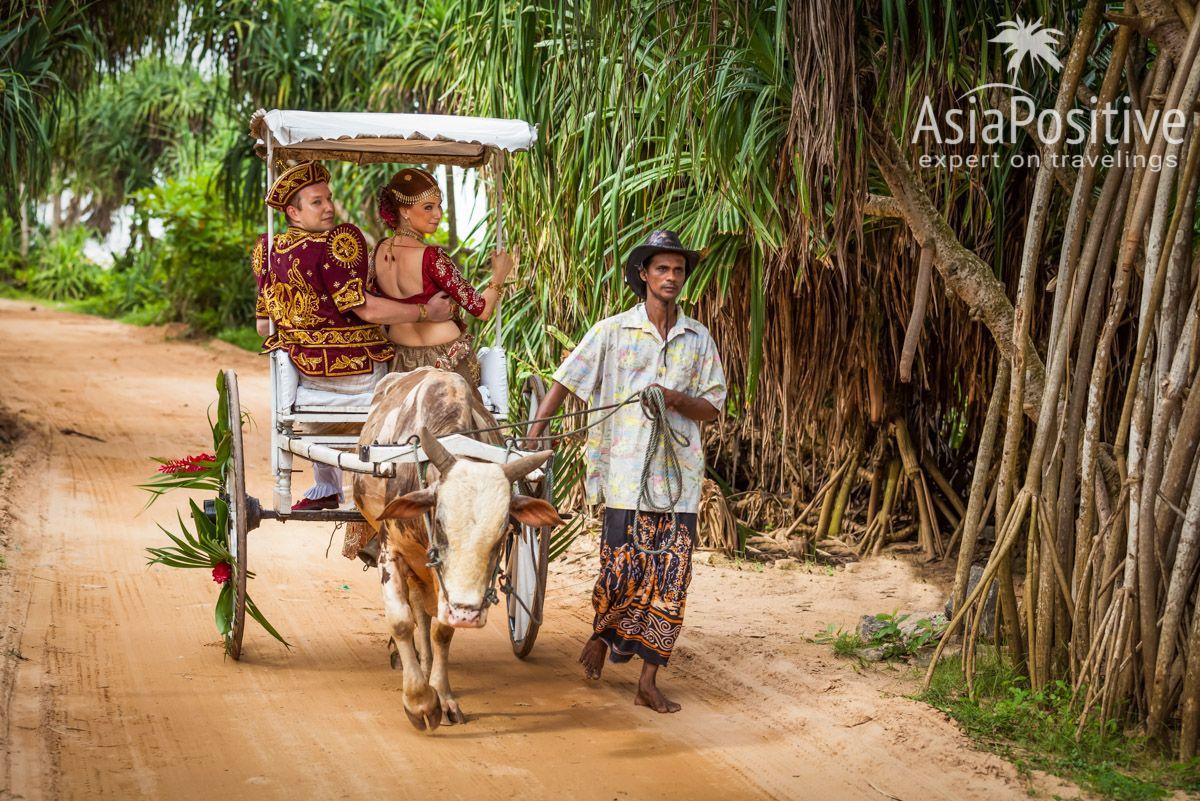 Повозка запряжённая коровой зебу и её колоритный поводырь | Яркая свадьба на Шри-Ланке | Путешествия по Азии AsiaPositive.com