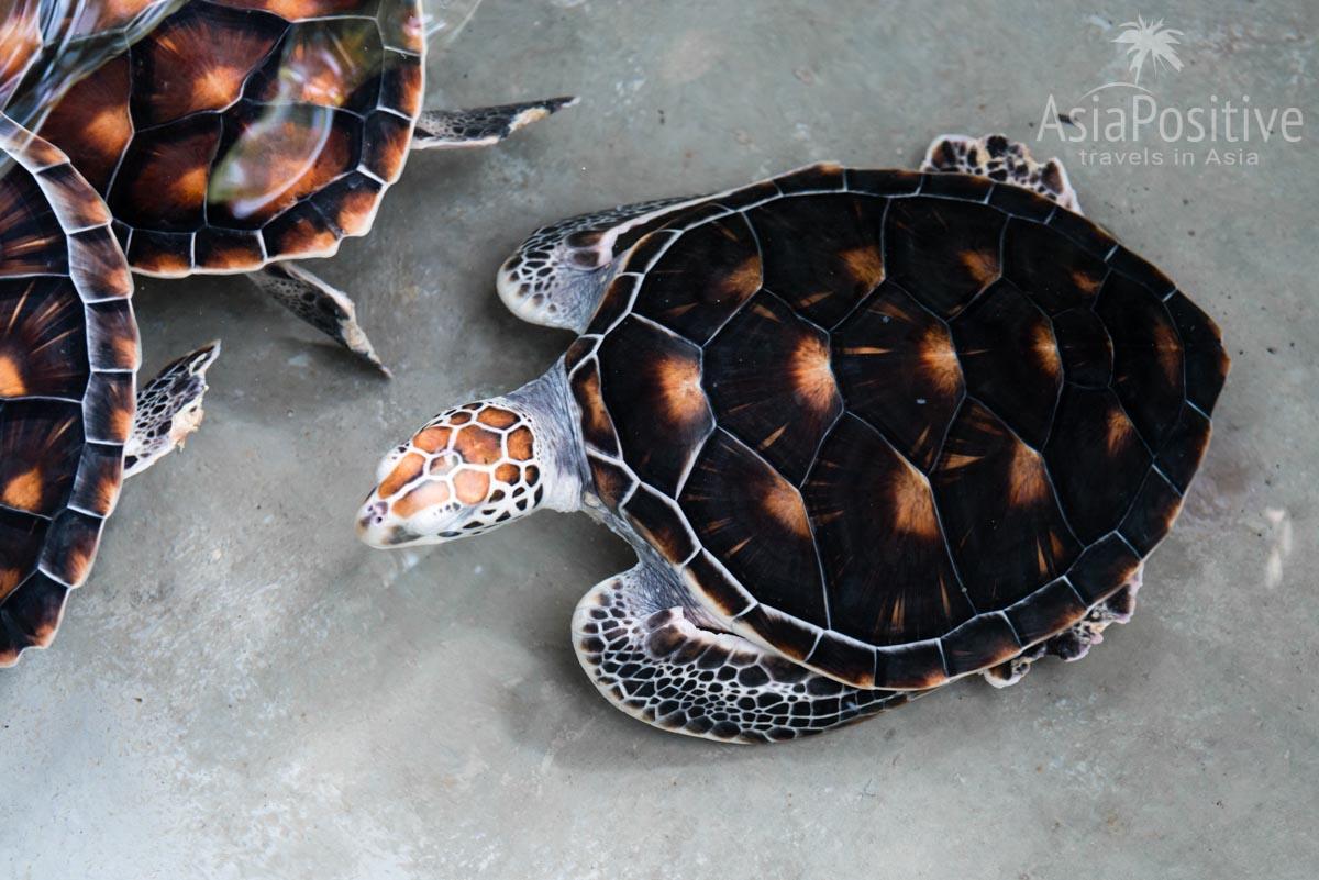 Черепах после лечения обычно выпускают в море | Экскурсия с Пхукета в Као Лак | Таиланд с AsiaPositive.com