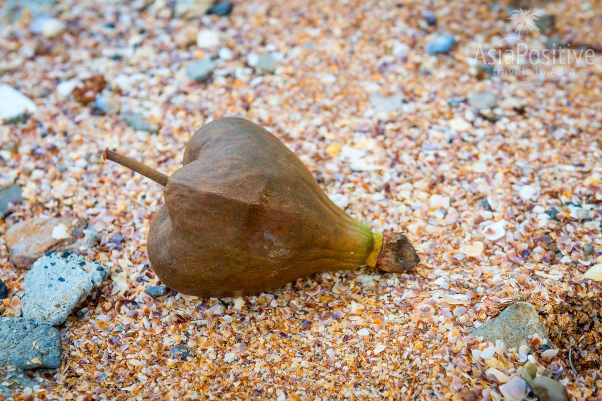 Плоды ядовитого дерева морские волны переносят на самые удалённые пляжи и острова  | Опасные растения Таиланда | AsiaPositive.com