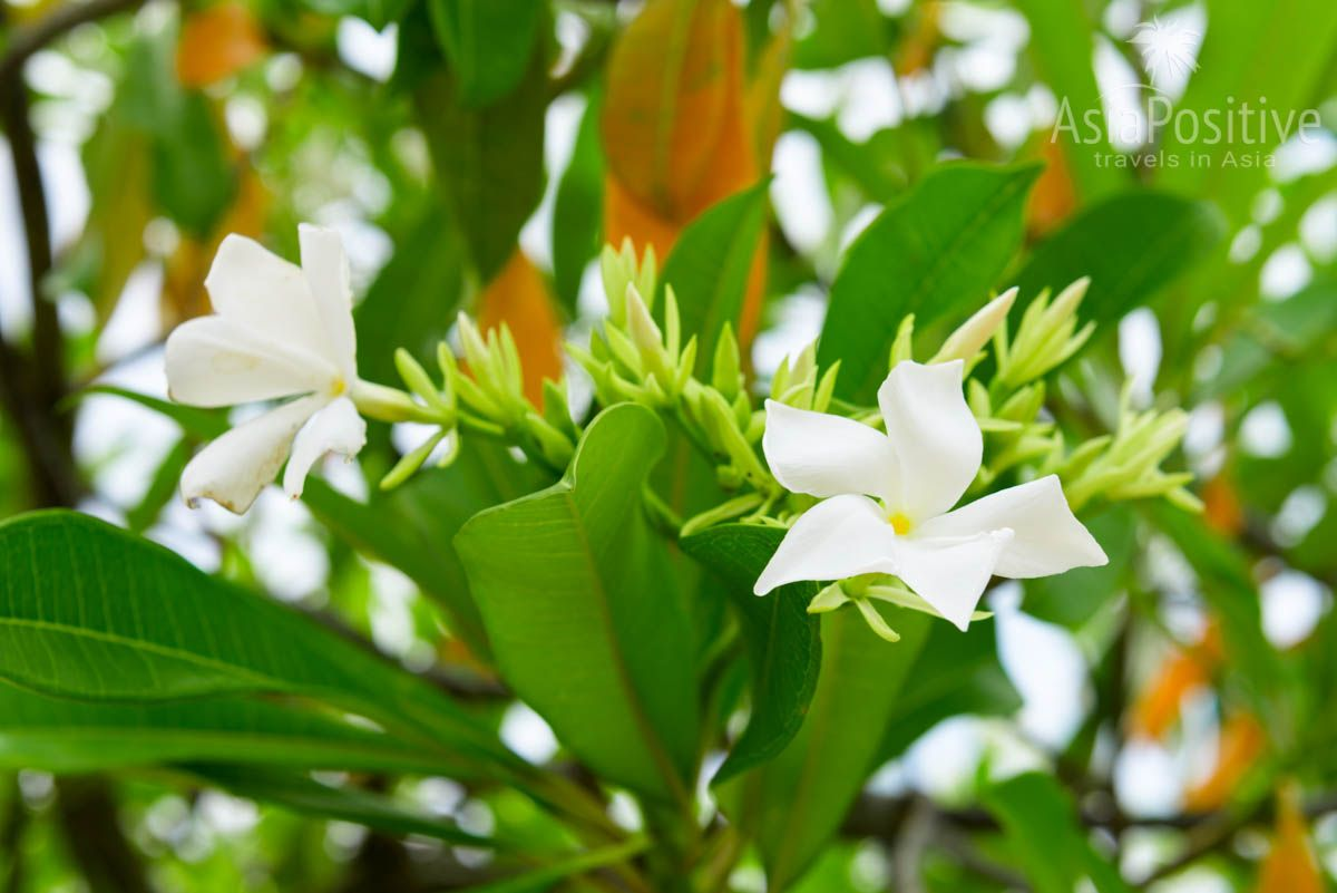 Цветы Церберы - белые невзрачные, крупные листья дают хорошую тень | Опасные растения Таиланда | AsiaPositive.com