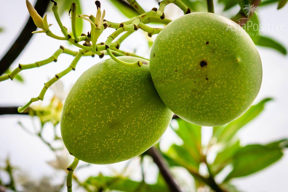 Плоды церберы напоминают грецкий орех, но значительно крупнее | Опасные растения Таиланда | AsiaPositive.com