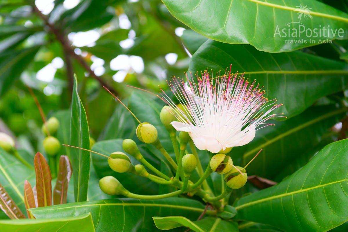 Цветы ядовитого дерева приятно и сильно пахнут | Опасные растения Таиланда | AsiaPositive.com
