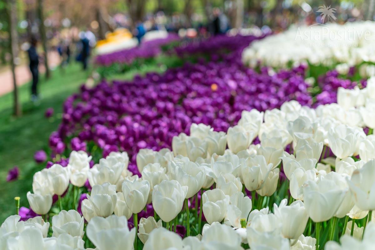 В апреле парки Стамбула покрыты ковром из тюльпанов | Когда лучше ехать в Стамбул | Путешествия с AsiaPositive.com