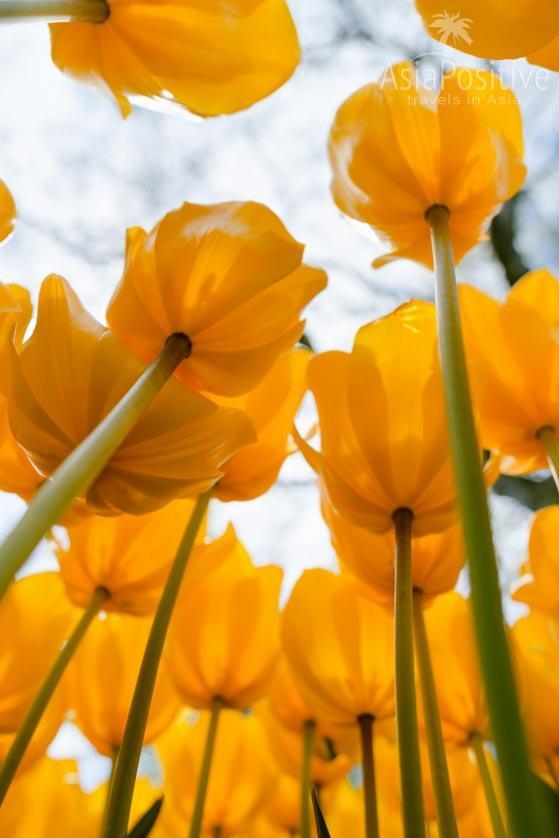 Когда цветут тюльпаны в Стамбуле | Путешествия с AsiaPositive.com