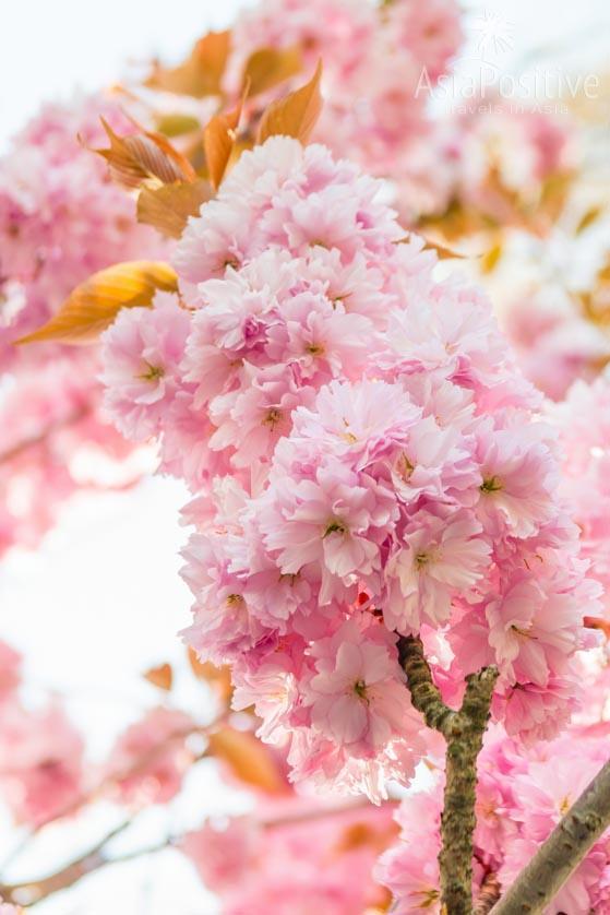 Сакура цветёт в Стамбуле в апреле | Когда лучше ехать в Стамбул | Путешествия с AsiaPositive.com