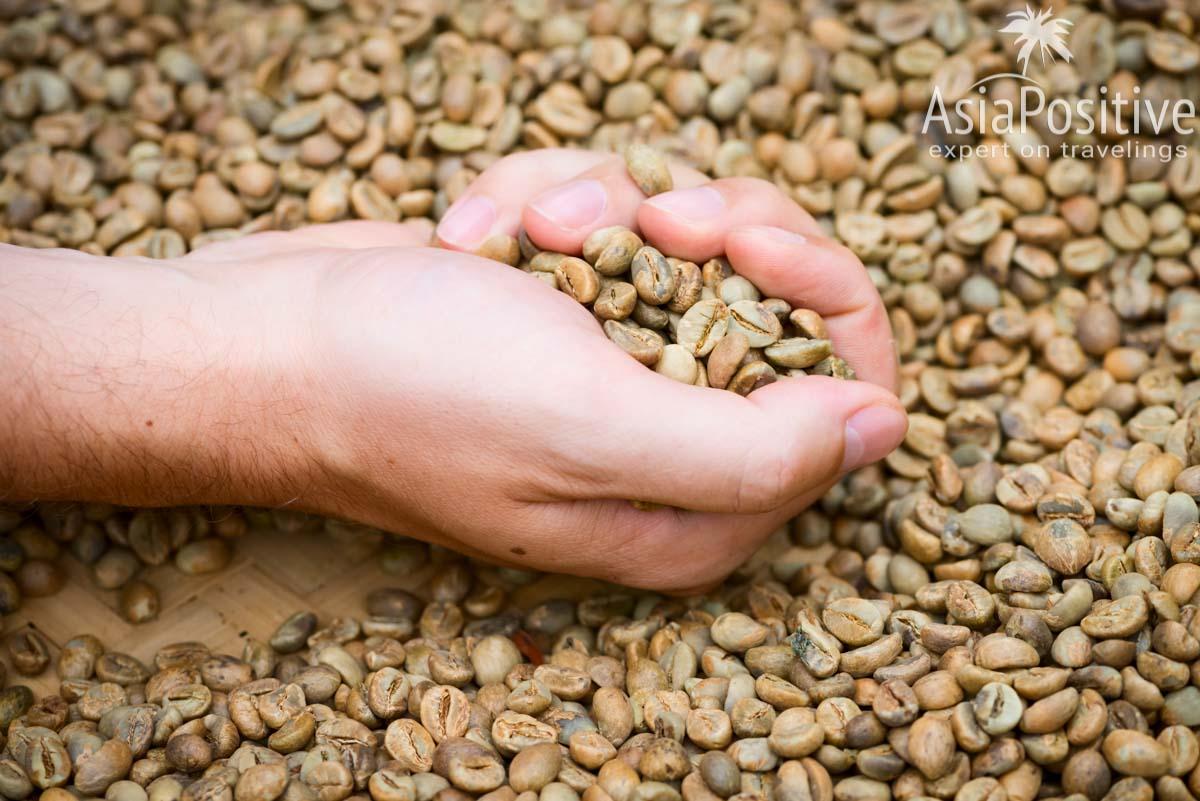 Сырые зёрна кофе | Путь кофе от ягоды до чашки | Эксперт по путешествиям AsiaPositive.com