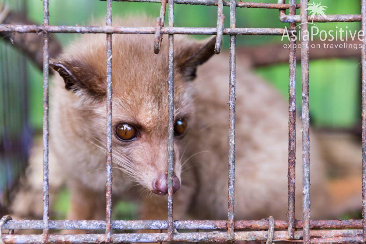 Циветта (лувак) в саду специй на острове Бали | Кофе, который вначале едят, а потом пьют | Эксперт по путешествиям AsiaPositive.com