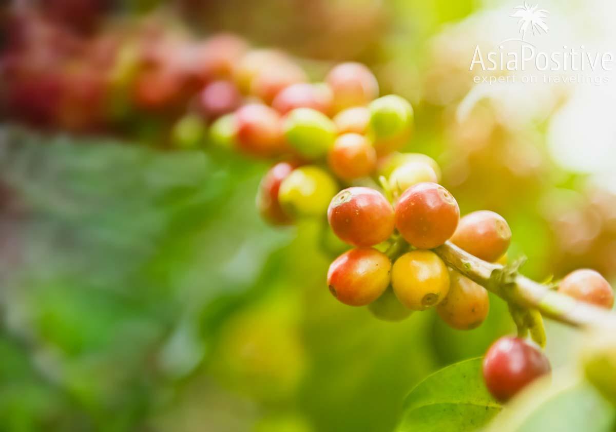 Почти созревшие ягоды на кофе на ветке кофейного дерева | Путь кофе от ягоды до чашки | Эксперт по путешествиям AsiaPositive.com