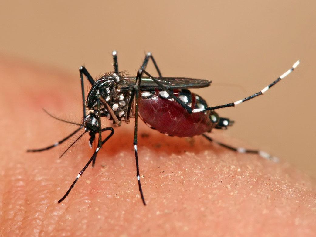 Комар (мокит) Aedes aegypti переносит возбудителя лихорадки Денге | Лихорадка Денге - чем опасна и как не заболеть | Путешествия и отдых в тропических странах с AsiaPositive.com