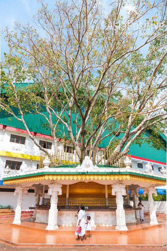 Священное дерево Ботхи | Достопримечательности Шри-Ланки | Путешествия AsiaPositive.com
