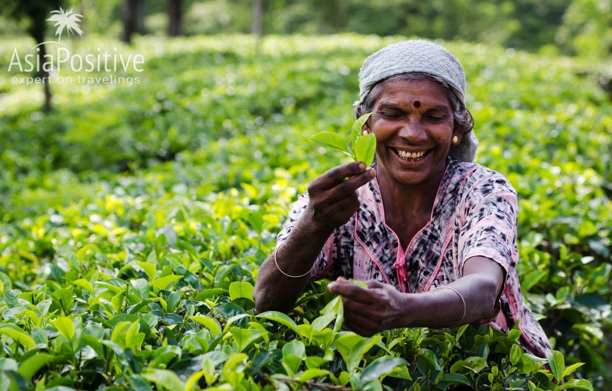 Цейлонский чай собирают вручную | Шри-Ланка на карте мира | Путешествия с AsiaPositive.com