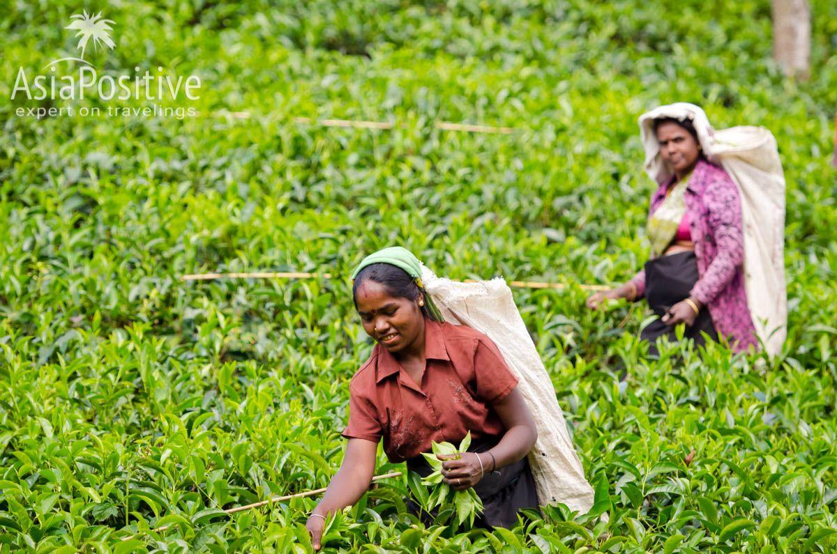 Сбор чая в горном регионе Шри-Ланки | Путешествия с AsiaPositive.com